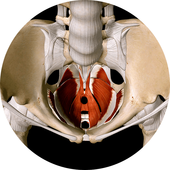 The Importance of the Pelvic Floor